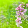 Decorative sage — Stockfoto