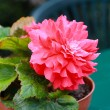 Red begonia close up - ストック写真
