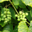 Branches of grapes close up — 图库照片