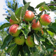 Fresh apples in the garden - Stock Photo