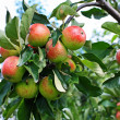 Fresh apples in the garden - ストック写真