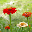 Beautiful zinnias close up — Stock Photo #15707571