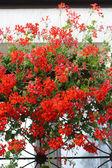 Red pelargonia flowers — Stock Photo