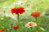 Mooie zinnia close-up — Stockfoto