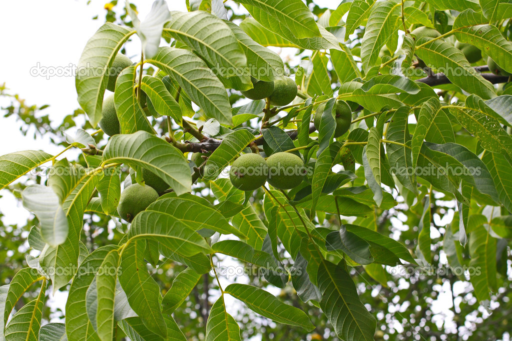 Walnut tree in the garden with walnuts — Stock Photo #15707507