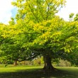 Springtime, green chestnut tree — Stockfoto #19819553