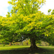 Foto de Stock  : Springtime, green chestnut tree