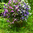 Three color garden lobelia — Stock Photo