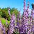 Blooming salvia in the garden — Foto de Stock