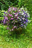 Three color garden lobelia — Stock Photo