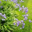 Beautiful blue Alium, garden flowers — Stock Photo