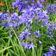 Beautiful blue Alium, garden flowers — Stok fotoğraf