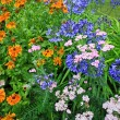 Stockfoto: Beautiful blue Alium and mixed garden flowers