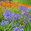 Stock Photo: Beautiful blue Alium, garden flowers