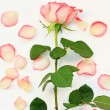 Beautiful, pink roses — Stock Photo