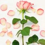 Beautiful, pink roses — Stock Photo #19820429