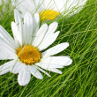 Beautiful marguerite flowers — Stock Photo