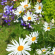 Beautiful marguerite flowers — ストック写真