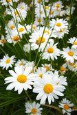 Beautiful marguerite flowers — Stock Photo