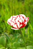 Pretty spring tulip — Foto Stock
