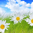 Stock Photo: Spring background with daisies