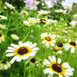 White and brown garden flowers — Stockfoto