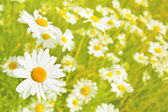 Beautiful meadow with white daisies — Stock Photo