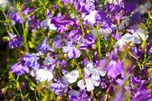 Beautiful three colour lobelia — Stock Photo