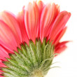 Beautiful, artistic gerbera flower — Stockfoto