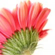 Beautiful, artistic gerbera flower — Stock fotografie