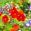 Stock Photo: Beautiful nasturtium flowers close up