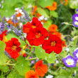 Beautiful nasturtium flowers close up — Stock Photo