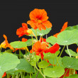 Beautiful nasturtium flowers close up — Stok fotoğraf