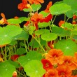 Beautiful nasturtium flowers close up — 图库照片