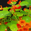 Beautiful nasturtium flowers close up — Zdjęcie stockowe