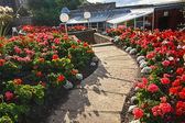 Hermoso jardín con flores rojas de geranio — Foto de Stock