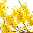 Fresh forsythia blooming in the garden — Stock Photo #22922754