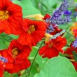 Beautiful red nasturtium in the garden — Stock Photo #22950574