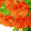Blooming nasturtium in the garden — Stock Photo #22950838