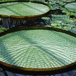 Exotic water lilies leaves — Stock Photo