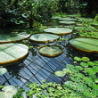 Exotic water lilies leaves — Stock Photo #23656327