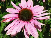 Vackra echinacea närbild — Stockfoto
