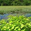 Beautiful summer pond — Stock Photo