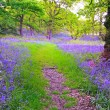 Beautiful bluebells forest — 图库照片
