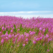 Beautiful meadow of pink wildflowers  — Stock Photo