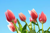 Lovely pink tulips — Stock Photo