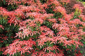 Pieris Japonica 'Red Head' Red Head Pieris — Stock Photo