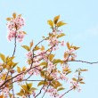 Pink Japanese cherry tree blossom  — Stock Photo