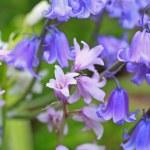 Bluebells meadow — Stock Photo