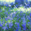 Beautiful bluebells close up — 图库照片